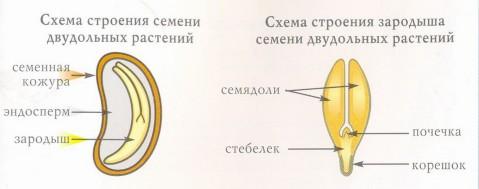 схема строения семени двудольного растения