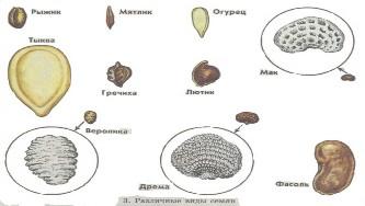 Пшеница где находится запас питательных веществ