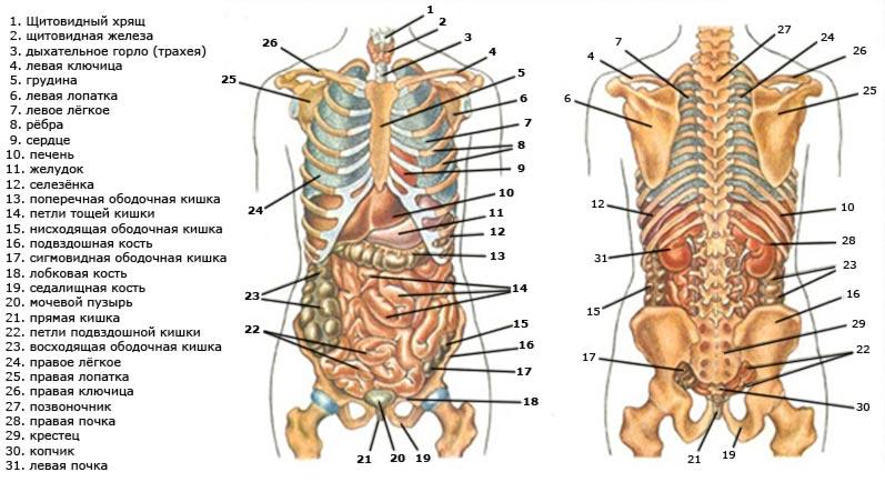 Внутренние органы человека схема у мужчин